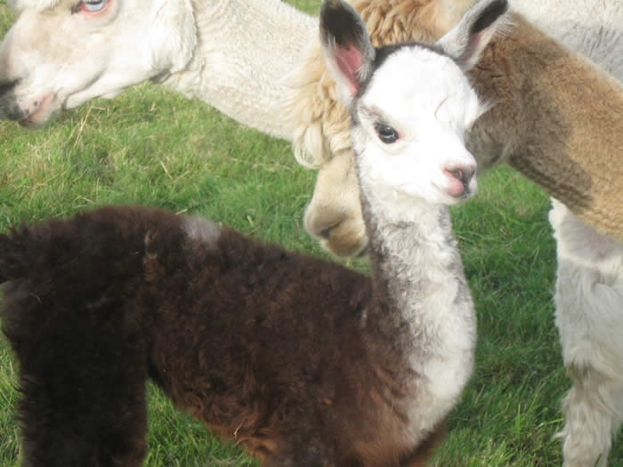 Alpaca cria called Bess