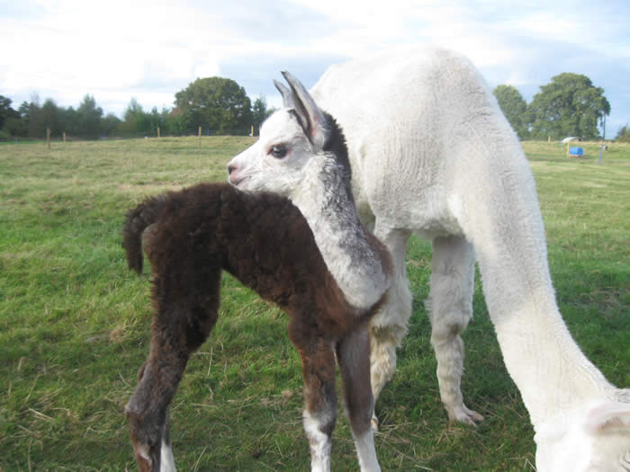 Alpaca Annie with baby cria called Bess